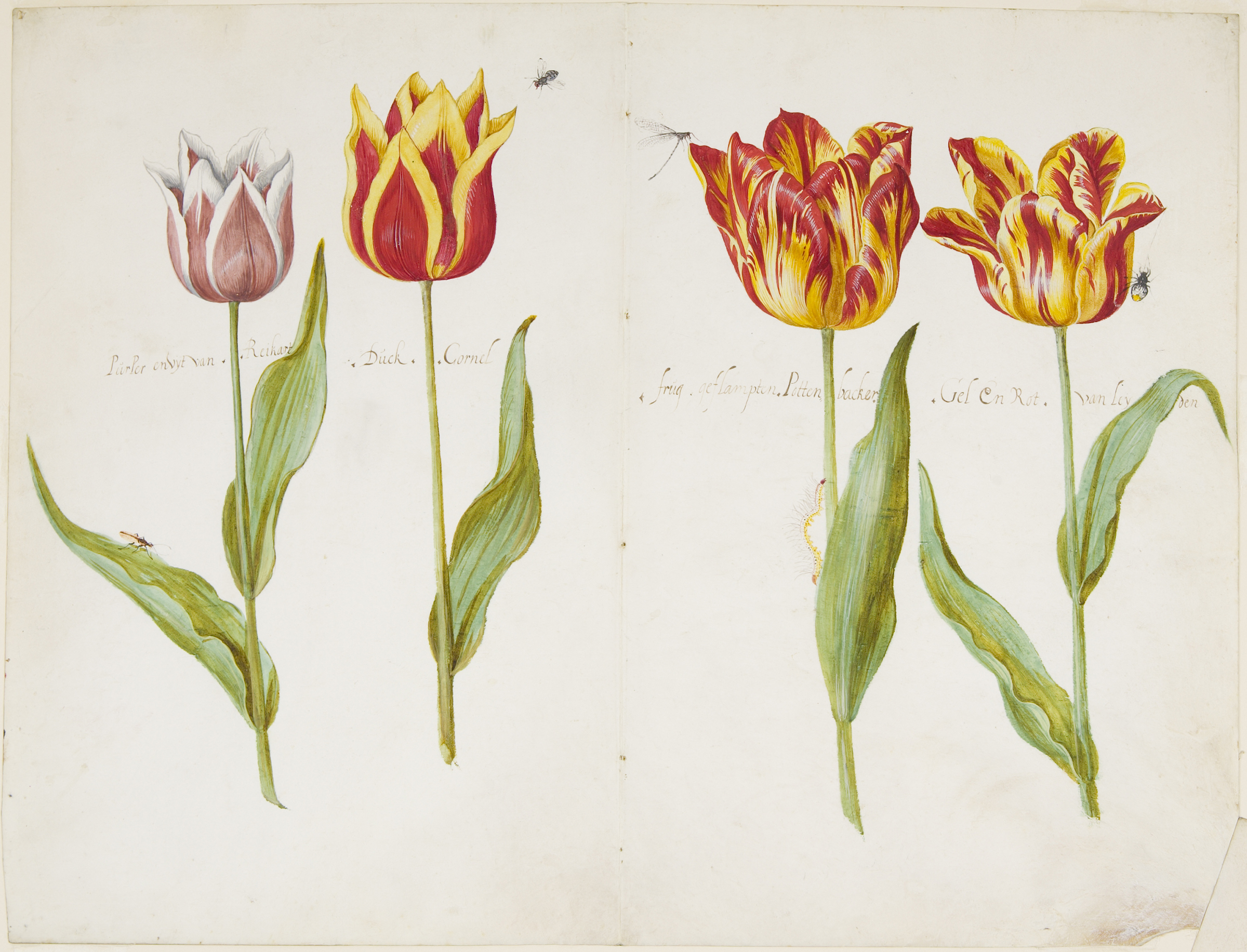 Jacob Marrel, Four Tulips, c. 1637–45. Watercolor and gouache over graphite on vellum. The Maida and George Abrams Collection, Boston, Massachusetts. Photo: © President and Fellows of Harvard College.